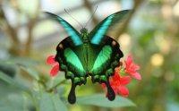 emeraldbutterfly